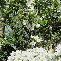 雪柳(ゆきやなぎ)という花