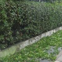 生垣の剪定とカタツムリ