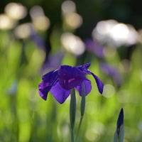紫の花菖蒲