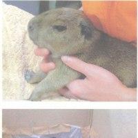 竹島水族館 カピバラの赤ちゃん誕生