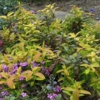 ◎斑入り葉のピンクアジュガ&満開のライラック