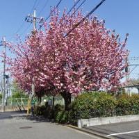 4月20日、カワセミと八重桜~♪