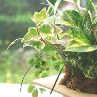 観葉植物ギャザリングその2
