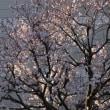 不思議な桜