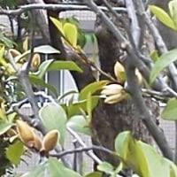 カラタネオガタマの花