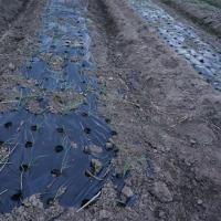 極早生玉ねぎの苗を植えました。