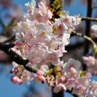 河津桜満開!