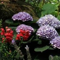 横浜公園の紫陽花