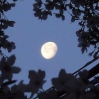 早朝の月と桜
