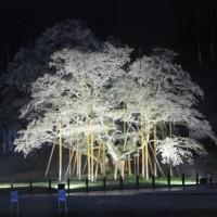 4月17日 雨の根尾 薄墨桜