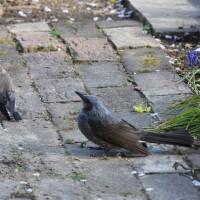 庭で初めて見かけたのは・・・ コムクドリのカップル?