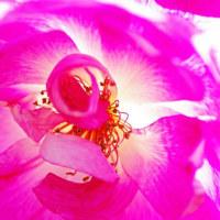 [#3502] 12月,1月に撮影したマクロ写真(12)バラ(ピンク系)