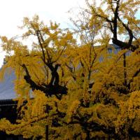 西本願寺の大銀杏 (その2)