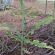 自宅敷地立ち木の刈り込みと雑物の整理をする。農園草取りと収穫。