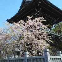 江戸川放水路~柴又 各地で桜吹雪