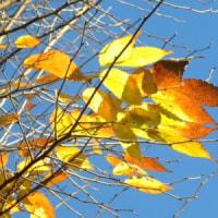 ケヤキの枝先の紅葉