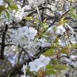 多摩自然科学園の桜3