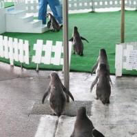 ペンギン散歩今昔・越前松島フンボルト4