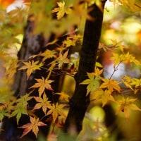 紅葉 (花 4111)