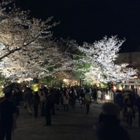花見小路の夜桜