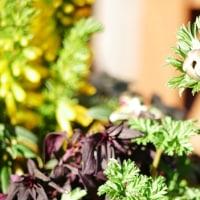 春を待つ真冬の寄せ植えと体温め茶