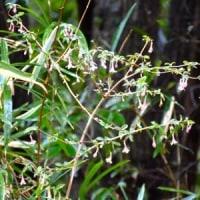 ウグイスカグラの枝にたくさんの花