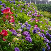 紫陽花を見てきました
