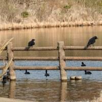 柏の葉公園周辺の野鳥_カラス(烏)水浴び