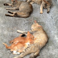 瀬戸内C島の猫たち 2016年 7月 その16