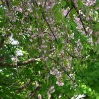 4/19 シダレザクラの花と葉