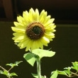 ハスの花とひまわり