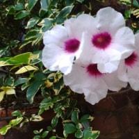 今日の花 薔薇とカズラ