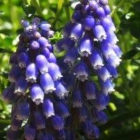 かわいいムスカリの花