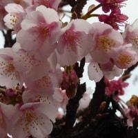 目黒で綺麗に桜が咲いていました