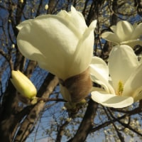 植物の漢字 木蓮