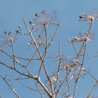 樹木ウォッチング冬から夏へ140ハリギリ4