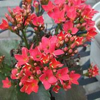 カランコエという花