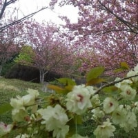 水道公園の八重桜が満開です♪