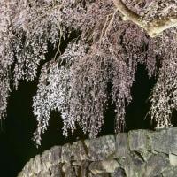 水戸野の枝垂れ桜ライトアップ2