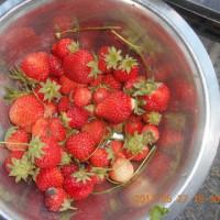 今日の収穫 イチゴ タマネギ ニンニク グリーンピース ソラマメ