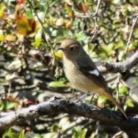野鳥「ジョウビタキ」
