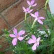 我が家の花達7月P2