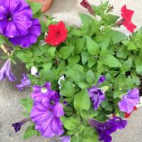 ガーデニングの花がどんどんきれいに咲いているよ