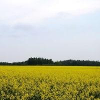 丘の菜の花畑