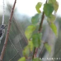 エゾビタキと蜘蛛の巣