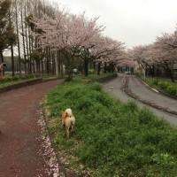 桜を満喫!