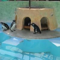 ユキヒョウのミュウと、ペンギンの恋のお話