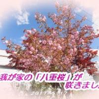 我が家の「八重桜」が咲きました。