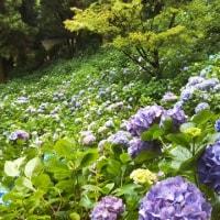 牧之原市 『秋葉公園』の紫陽花