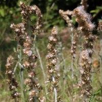 ウラジロチチコグサ(キク科・チチコグサモドキ属)多年草